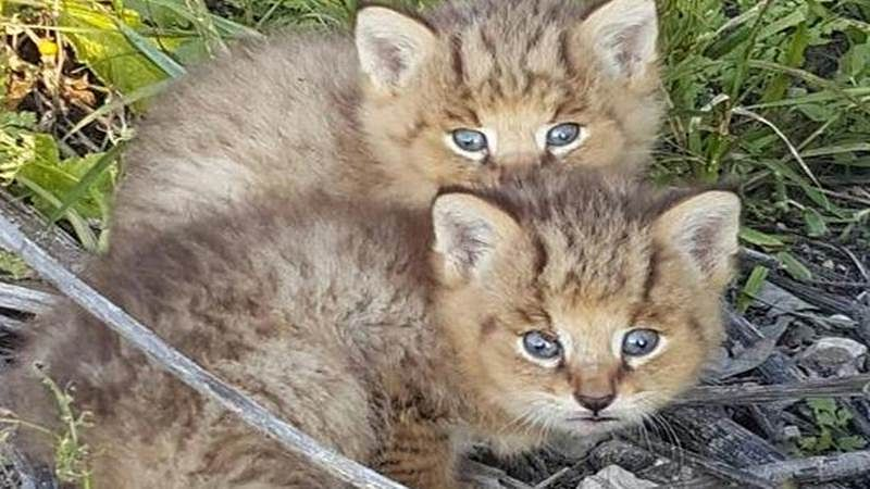 Mumbai: Two jungle kittens, badly dehydrated, rescued in Virar