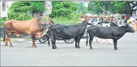 Ujjain: Mayor seeks police support to solve stray cattle menace