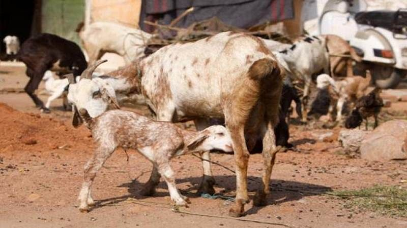Sacrifice of cow, ox, buffalo, camel on Bakr-Eid will invite Gangster Act in Uttar Pradesh's Sambhal