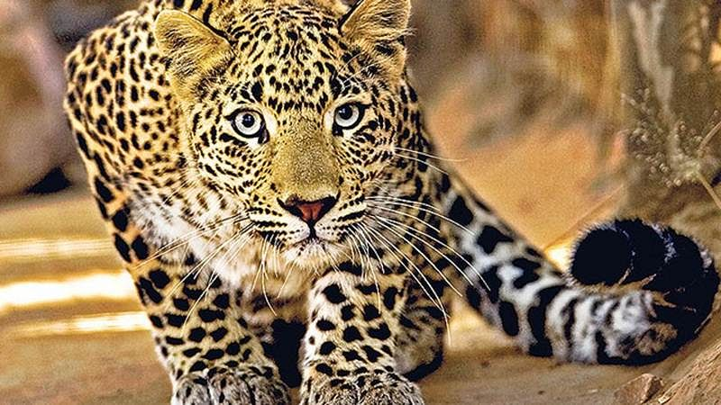 Maharashtra: 5 leopard cubs killed as farm workers burnt trash in sugarcane field