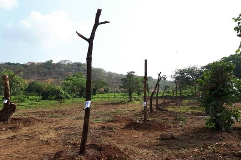 Bombay High Court restrains Thane Tree Authority from ordering tree cutting