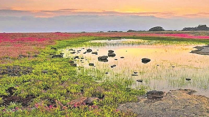 Maharashtra: Less blooms on Kaas plateau worries authorities, visitors