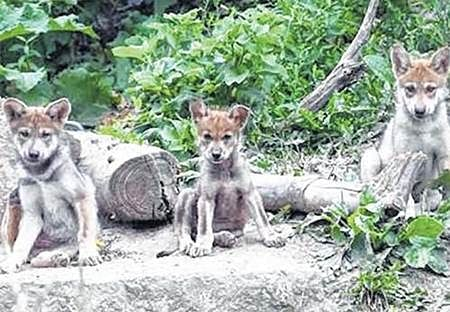 Indore: Zoo celebrates birth of four she-wolf pups, expecting more with fingers crossed