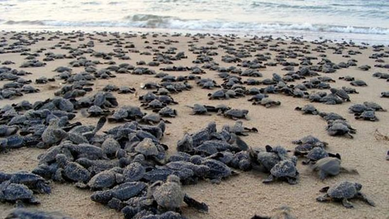 Odisha: 7-month fishing ban to protect Olive Ridley turtles