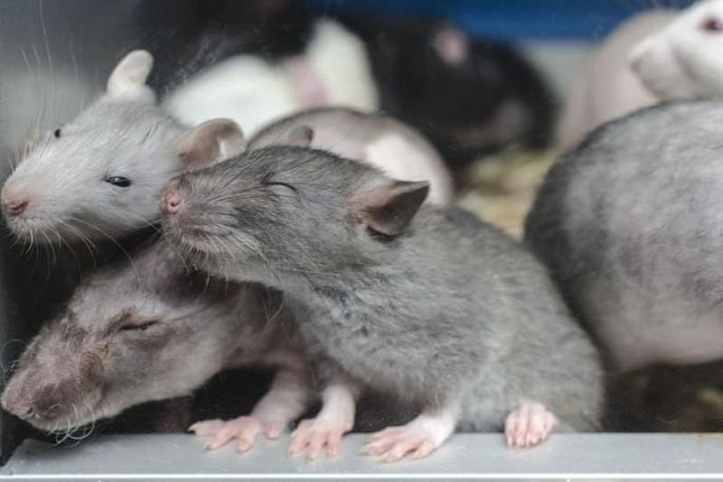 Woman living with 300 rats gives them up for adoption