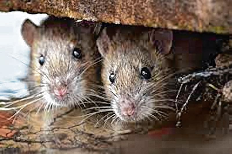 CMO deluged by rats: Pesticide firm
