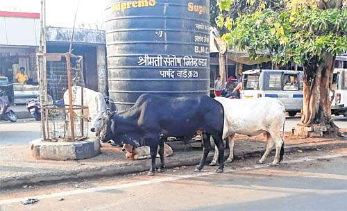 Dairies within city cause nuisance of stray animals