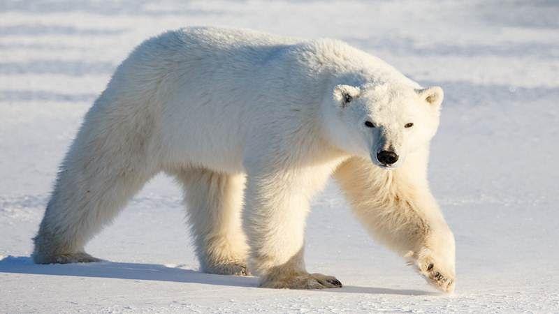 Polar bears inspire novel heat insulating material