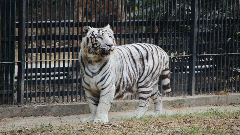 Delhi Zoo mulls mating white tiger with royal Bengal tiger