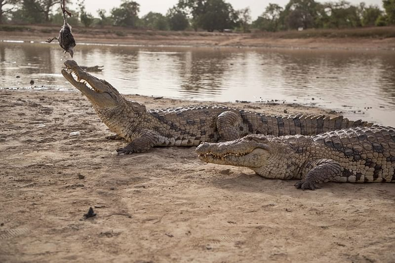 Vicious Revenge! Mob slaughters 300 crocodiles after Indonesia man is killed