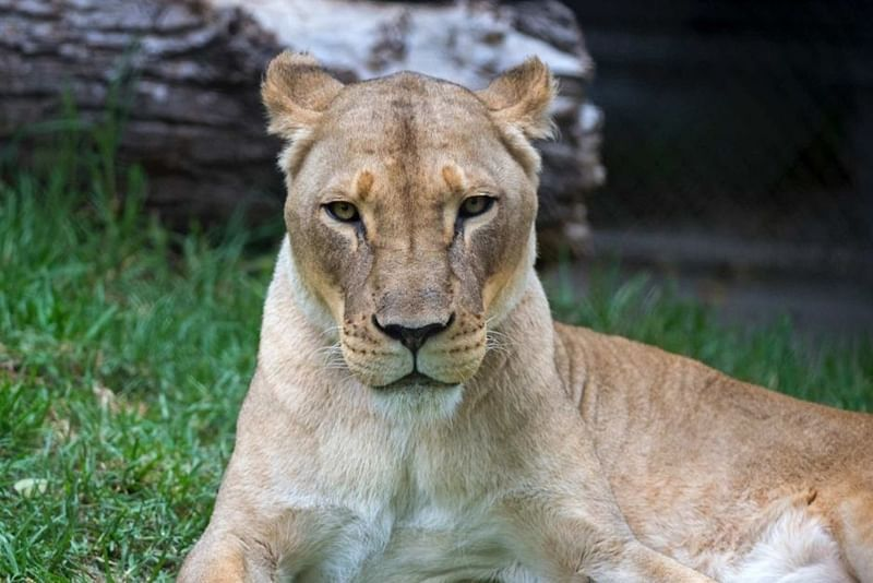 Belgian Zoo evacuated after lioness escapes its cage