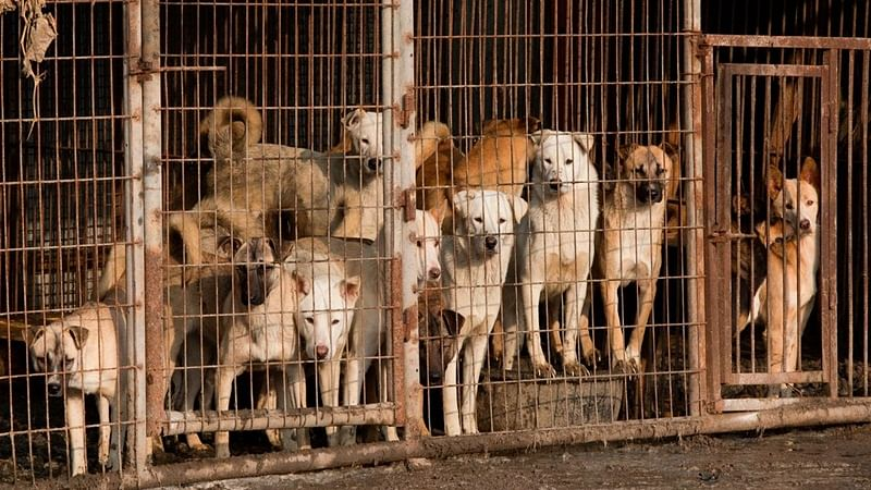 Killing dogs for meat illegal, rules South Korean court