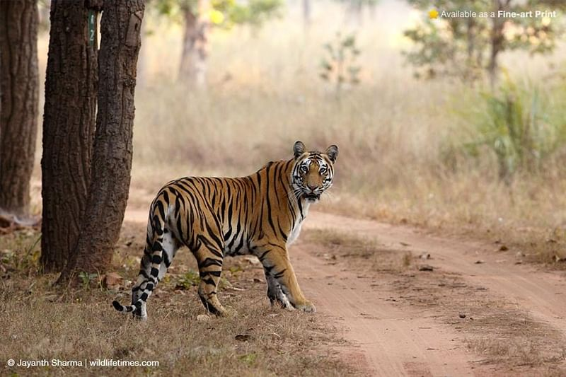 Bhopal: Ratapani tiger poachers held, paws recovered