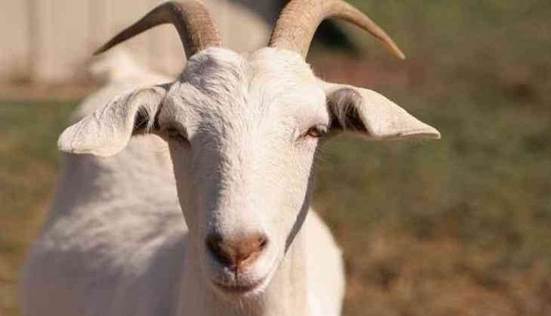 Rajasthan High Court seeks government's  stand on sacrifice of goats on Eid