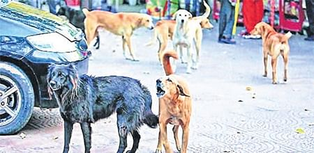 Indore: To end stray dog menace, city need a dogged approach