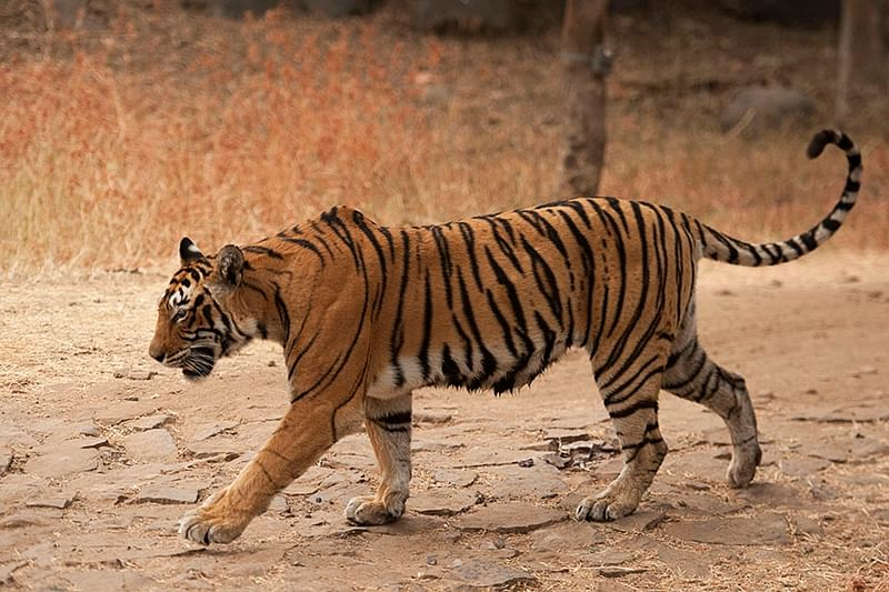 Uttar Pradesh: Tigress lynched in Dudhwa; FIR lodged against 6 persons, unidentified villagers