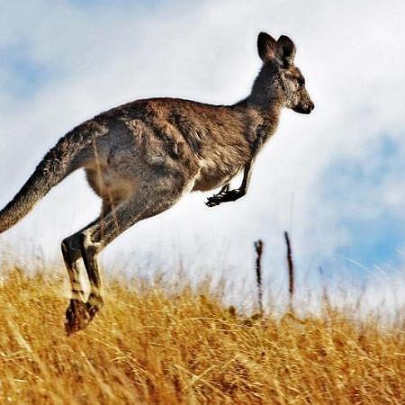 Oz teen deliberately killed 20 kangaroos