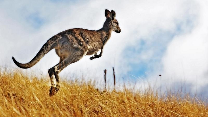 Australia: Man undergoes plastic surgery after kangaroo attack