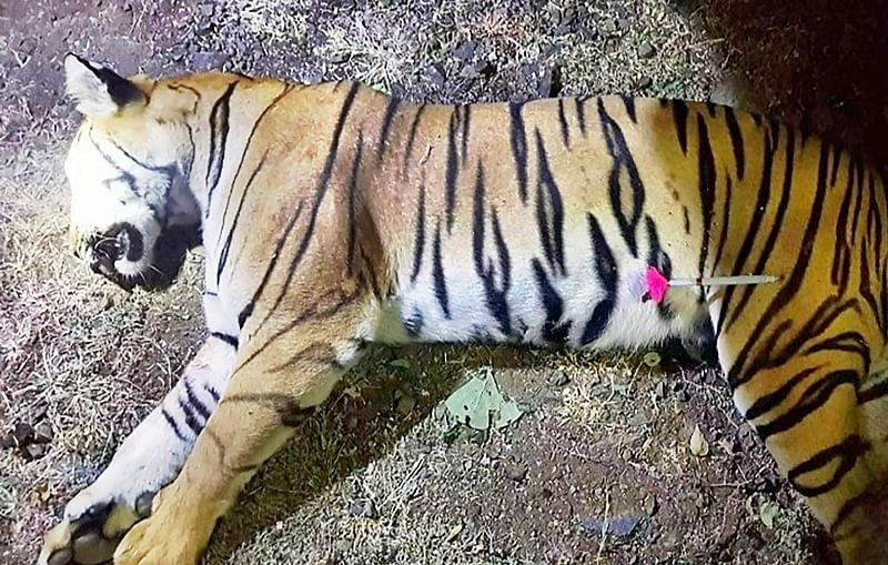 Maharashtra: Tigress Avni, suspected to be behind death of 14 people, killed in Yavatmal