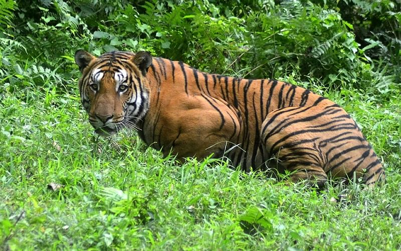 Tiger carcass with missing paws found in Ratapani reserve