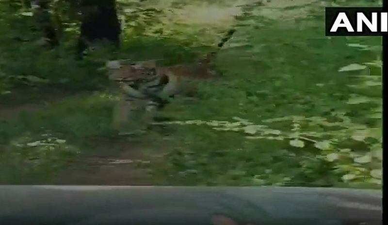 Maharashtra: Tigress chases tourist vehicle in buffer zone of Tadoba reserve, video goes viral