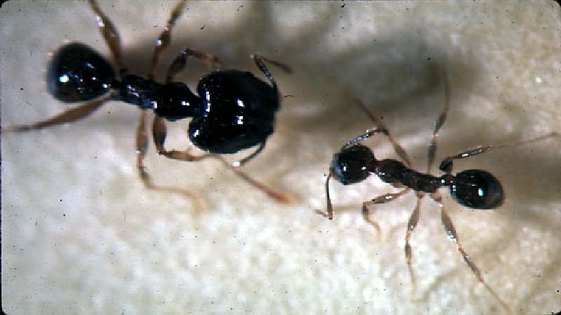 Invasive ants removed from Oz island