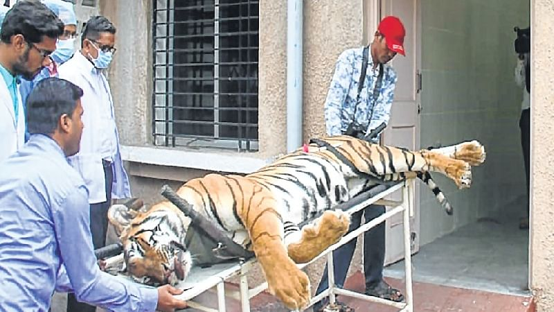 Tigress Avni killing: Protesters detained outside Mantralaya