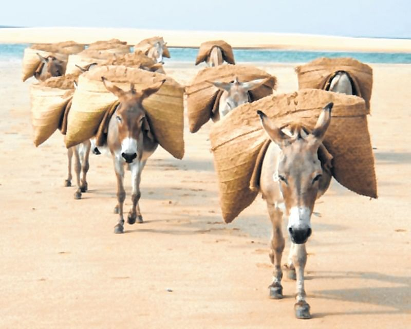 Maharashtra: Embarrassed by sand mafia, law takes 58 donkeys into custody