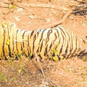 Madhya Pradesh: Tiger found dead in Kanha Tiger Reserve, probe underway
