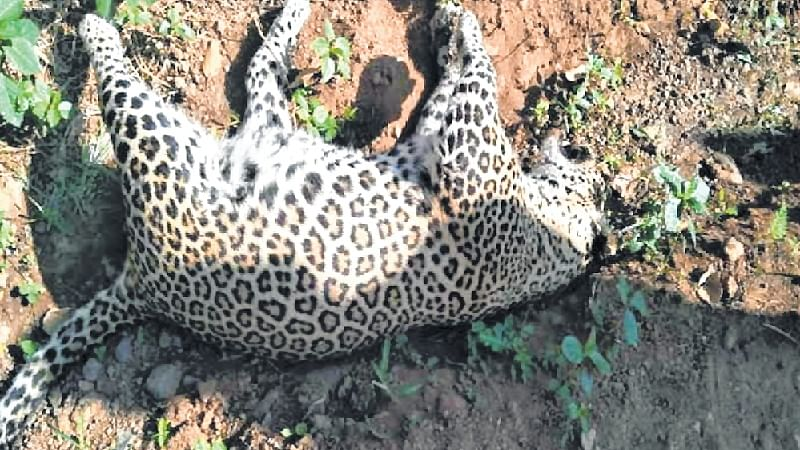 25 leopards died in Maharashtra since January this year