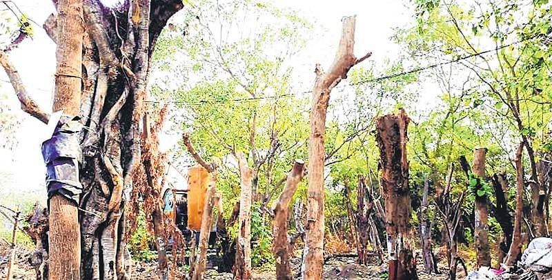 Mumbai: MMRCL pulled up for shoddy transplantation of trees