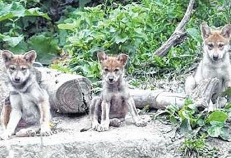 Like dogs, wolves too have cooperation skills
