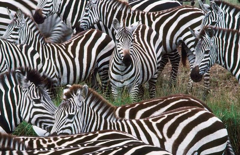 Mystery of Zebra stripes solved – they confuse blood-sucking parasites