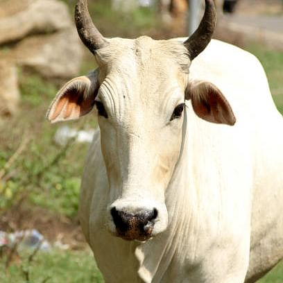 Madhya Pradesh: Liquor, luxury cars to get dearer, cow cess in offing