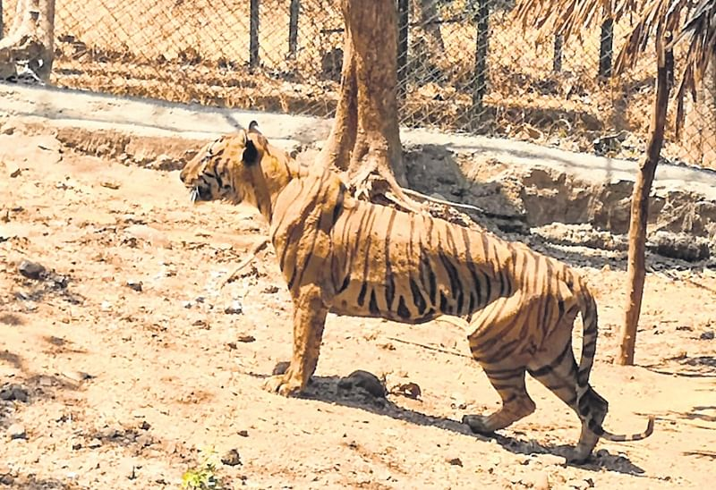 Royal Bengal tiger Yash dies of cancer at SGNP