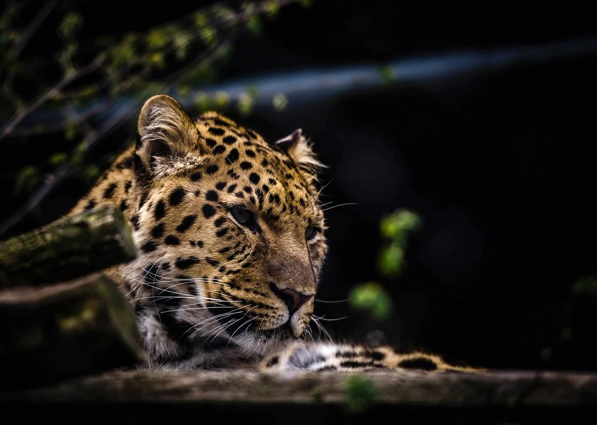 Wildlife Dept launches massive hunt to catch or kill 'man-eater' leopard in Ganderbal