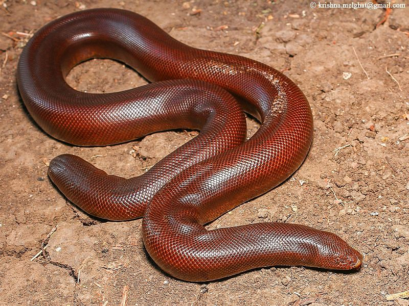 UP: Four held with snake worth Rs 2.5 crore