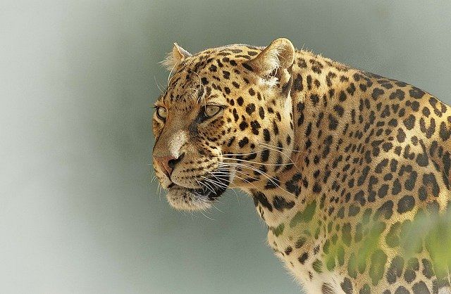 Massive hunt launched to 'catch or kill' man-eater leopard in Budgam