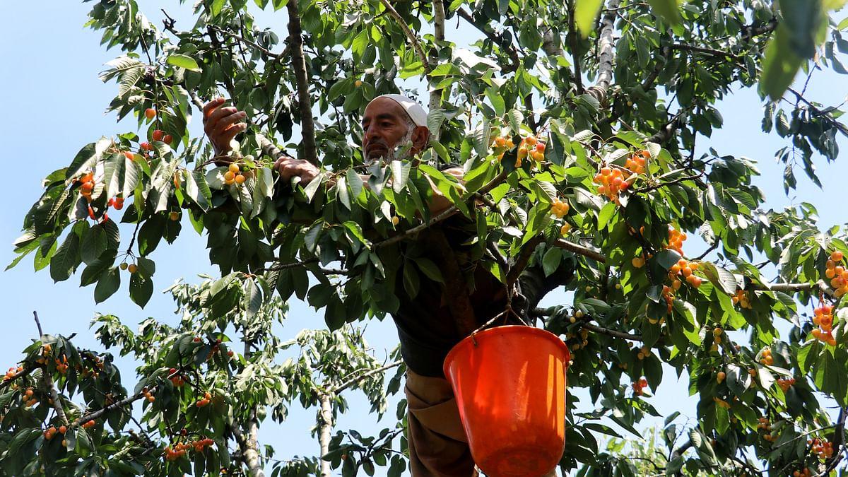 Cherry harvesting in Shopian brings cheer to growers