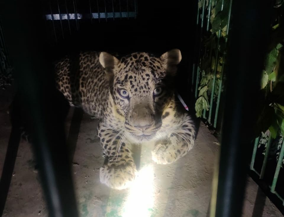 Leopard captured in Khrew, third in past week