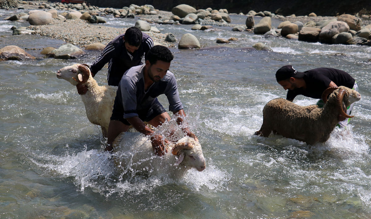 Men clean sheep in a stream before they are sold off at the market for sacrificing on Eid-ul-Adha.