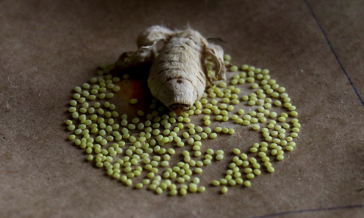 The silkworms are put to rest for around 24 to 50 hours for the formation of cocoons.