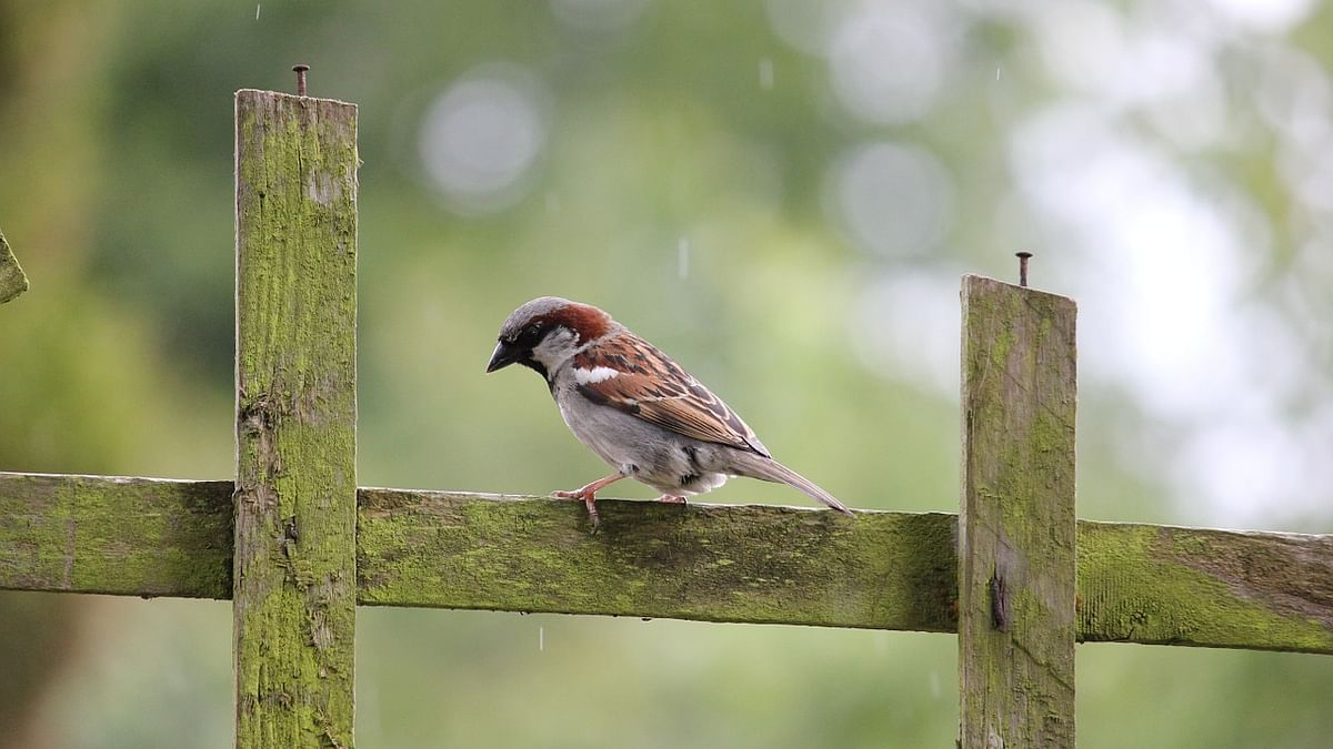 House sparrow population is stable, says report