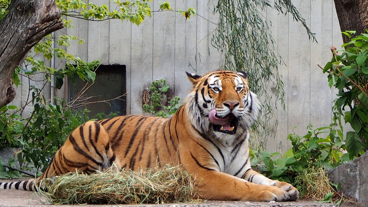 Amur tigers make 'remarkable' comeback in China
