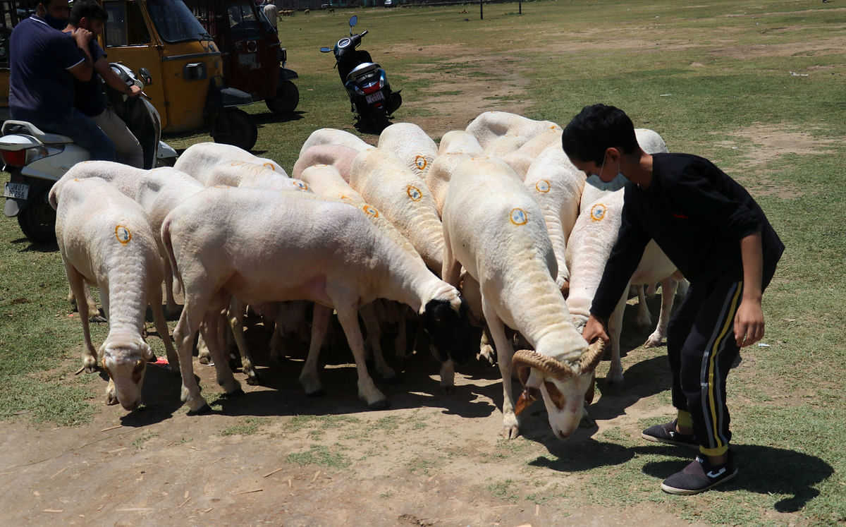 A boy chooses sheep for the Eid ul-Adha festival in Srinagar, July 18, 2021. Muslims around the world celebrate Eid ul-Adha by slaughtering cattle to commemorate Prophet Abraham's willingness to sacrifice his son, Prophet Ismail, on God's command. This year, Eid-ul-Adha falls on July 21 in Kashmir.