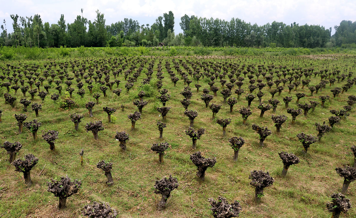 At this farm in Mirgund on the outskirts of Srinagar, the trees are pruned every year by the sericulture department to boost the cocoon production.