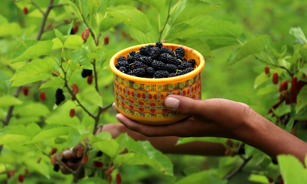 A youth (not in picture) displays a bowl filled with mulberry at a farm in Mirgund on the outskirts of Srinagar.
