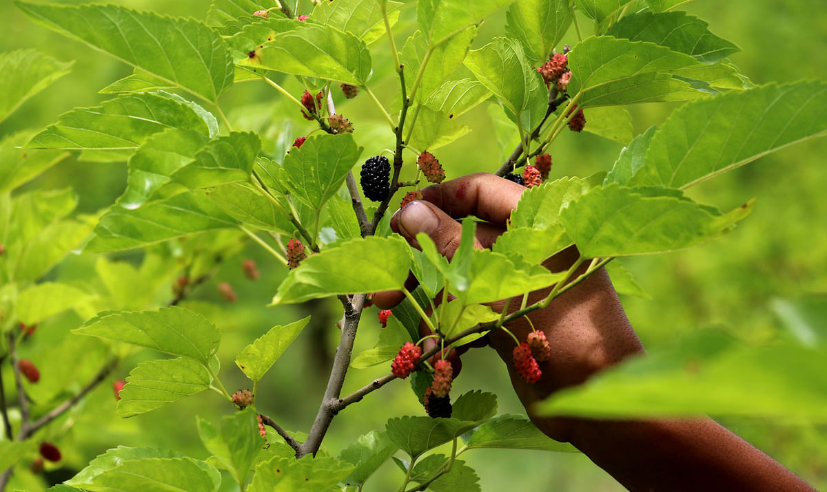 A youth plucks the ripe mulberry fruit from a tree at Mirgund on the outskirts of Srinagar on Tuesday, 06 July 2021.