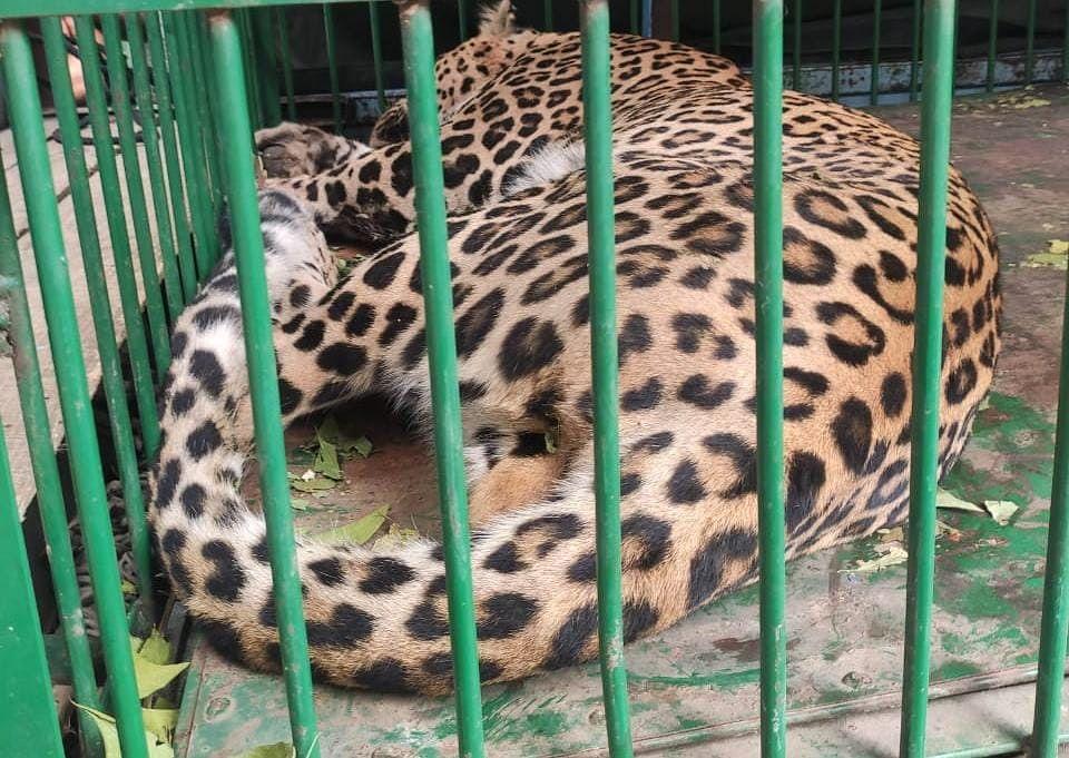 'Man eater' leopard captured alive in central Kashmir's Ganderbal