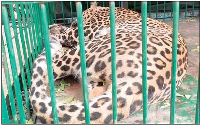 Leopard caught in central Kashmir's Beerwah